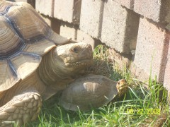 Tortoise & Box Turtle Hanging Out