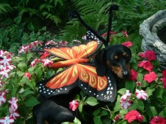 Star, the dachshund butterfly!