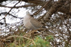 A dove in a tree