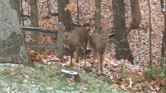 Deer coming into back yard.
