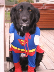 Super Dog Ready for Trick 'N Treat Night