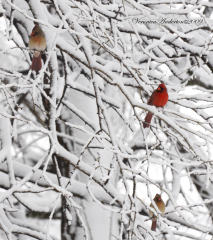 3 Cardinals March 28 09 Snow