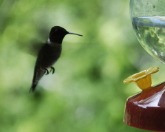 Backyard Hummingbirds find food