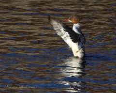 Merganser showing off