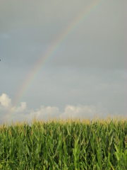Rainbow over Corn Field