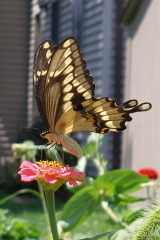 Large Swallowtail visits my Zinnia garde