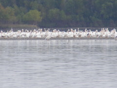 Pelicans on IL River During Yearly Migration