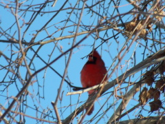 Cardinal on the Branch