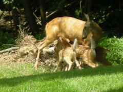 Doe feeding her fawns