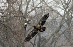 Eagles in flight at Starved Rock