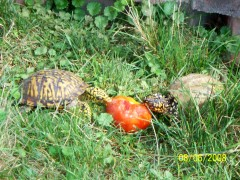Garden harvest time for the turtles