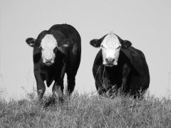 Two Cow Duo