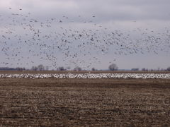 Snow Geese land west of San Jose