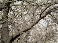 Snowy Branches in Pekin