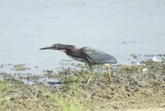 Green Heron at Lakeland Park