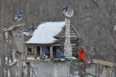 Birds feeding during Blizzard of 2011