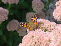 Butterfly attacks Sedum