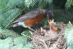 Mother Robin feeding her children
