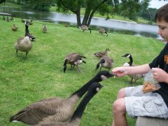 Ducks eat pretzles out of boys hand!