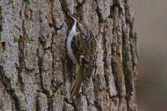 Brown Creeper Eating Insects