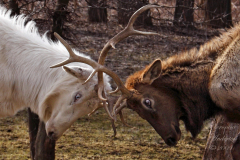 Elk Spring Play by Veronica Anderton