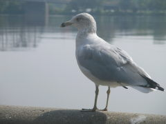 Seagull at River Front