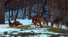 Deer & Turkeys Having a Feast