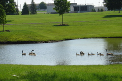 Canada Goose hens and their broods