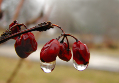 Rain On Japanese Maple Tree