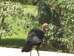 Wild Turkey on Grand View
