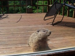 Groundhog appeared on backyard deck