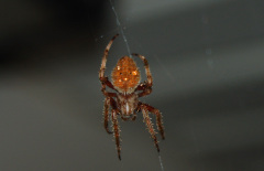 Spider above deck door
