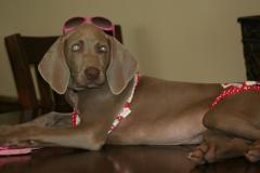 Weimaraner modeling his costumes