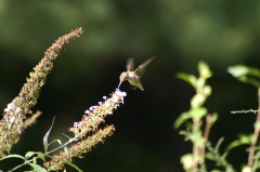 Hummingbird humming along