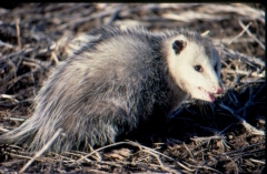A opossum in a field