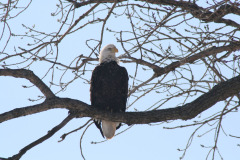 Eagle sitting in tree trying to stay warm