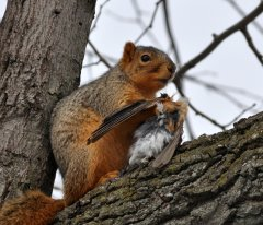 Squirrel eating a robin
