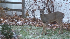 Deer aftr first snow