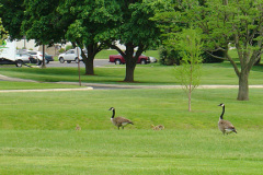 Two geese with their goslings