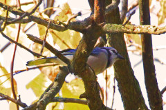 Blue Jay In Fall Foliage