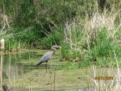 Heron fishing the pond, Morells, yum!