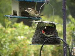 Pair of Rose-Breasted Grosbeaks