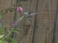 September Humming Bird heading South