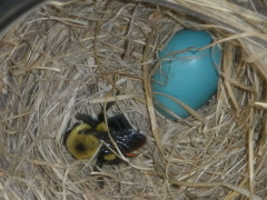 Bumblebee in a Bird's Nest