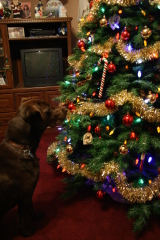 Christmas time with a Chocolate Lab.