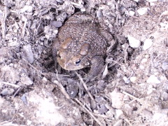 Toad of March