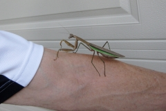 Big praying mantis