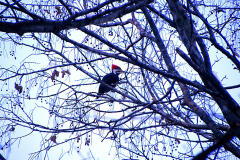Pileated Woodpecker enjoying the day