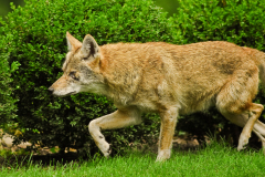 Coyotes Regularly Run North Peoria Bluff