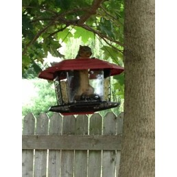 Squirrel INSIDE Bird Feeder